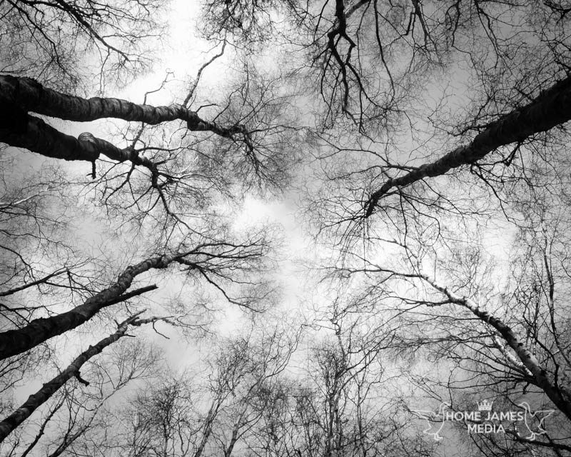 Up through the Birches - Messingham Sands Birch Trees Landscape Photo | Lincolnshire Landscape Photography