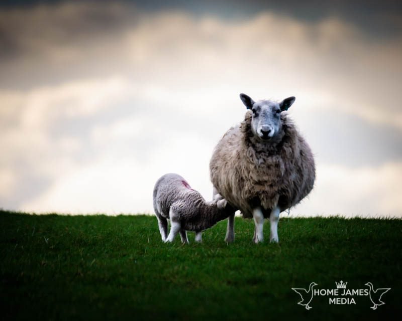 Lamb feeding from a Ewe | Lincolnshire Landscape Photography by Robin Ling
