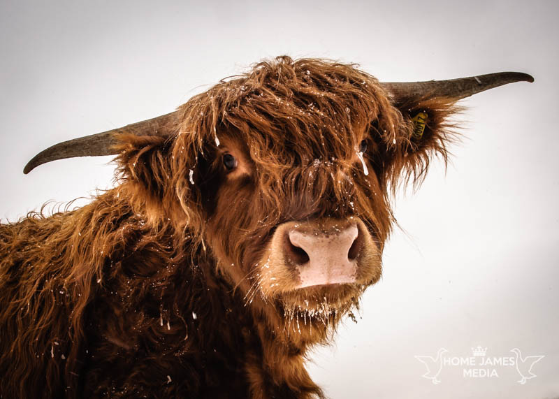 Highland Cow in Winter | Buy Lincolnshire Landscape Photography by Robin Ling