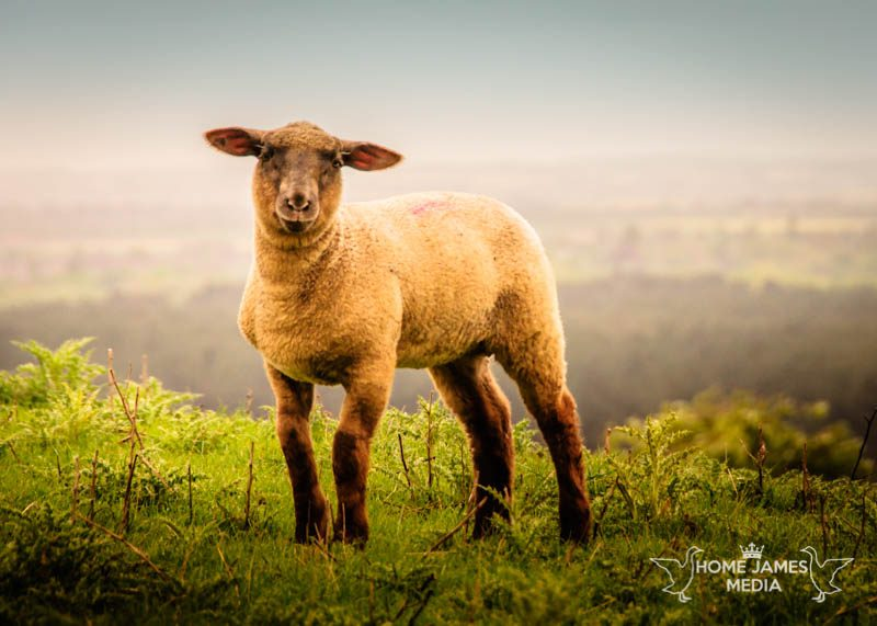 Spring Lamb in Lincolnshire Near Walesby | Lincolnshire Landscape Photography