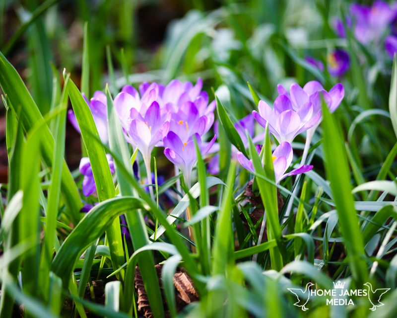 Purple crocuses in green foliage on a sunny spring day in the uk. Lincolnshire Landscape Photography by Robin Ling