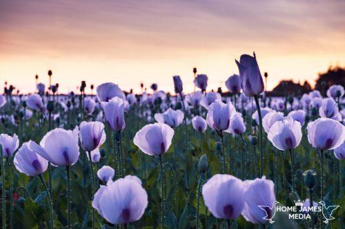 Hibaldstow Lilac Poppies Landscape Print